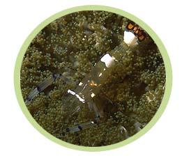 白斑海葵虾