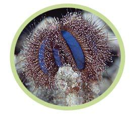 短刺海胆(蓝礼服)