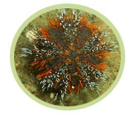 短刺海胆(毛发色)
