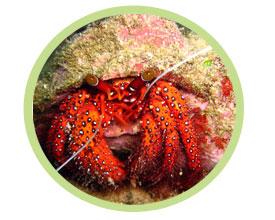 橙脚寄居蟹