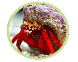 红珊瑚寄居蟹