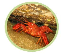 东方礁螯虾