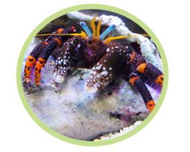 蓝脚橙寄居蟹