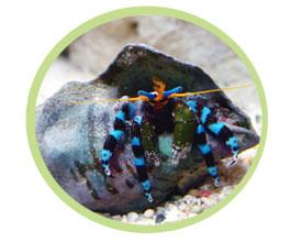 蓝脚寄居蟹