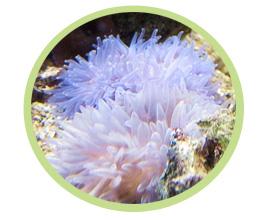 夏威夷海葵