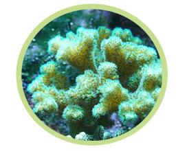 细枝鹿角珊瑚