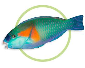 橘斑鹦哥鱼