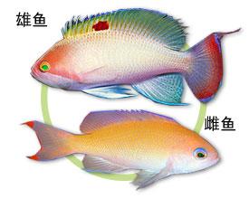 粉红海金鱼