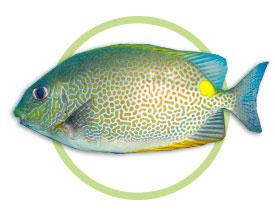 星斑篮子鱼