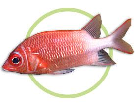 尾斑金鳞鱼