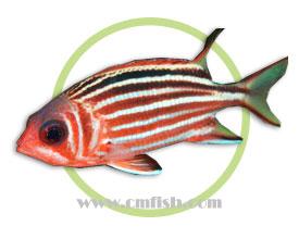 黑带金鳞鱼