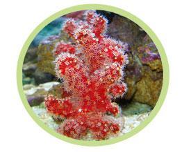 红手指珊瑚