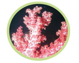 水桃花珊瑚
