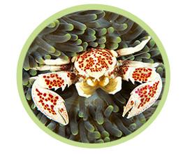 红斑新岩瓷蟹