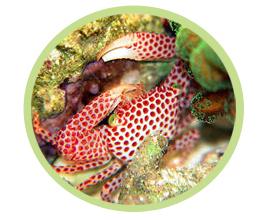 红斑梯形蟹