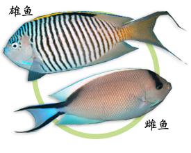 红海虎皮王