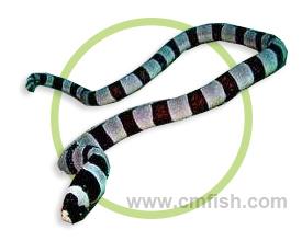 斑竹花蛇鳗