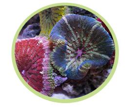 迷你地毯海葵