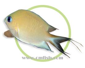 安汶光鳃鱼
