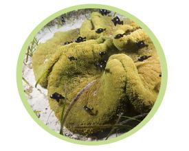 大地毯海葵