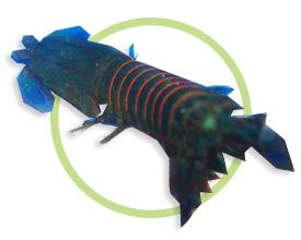 桔纹螳螂虾