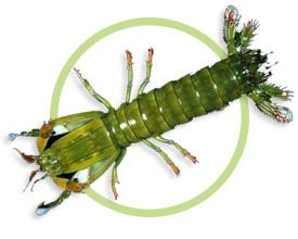 老虎螳螂虾