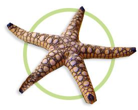 大理石海星