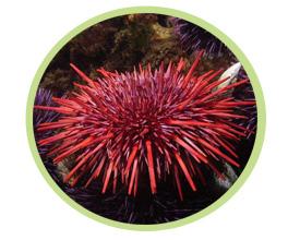 红长刺海胆