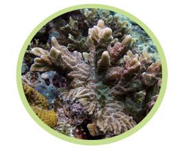 枝状脑珊瑚