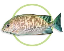 蠕纹篮子鱼