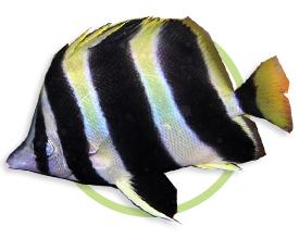 宽带双蝶鱼