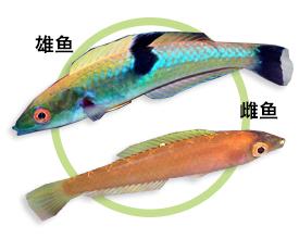 中斑铅笔鱼