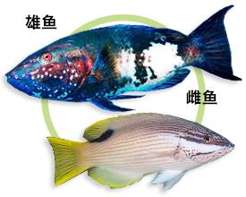 夏威夷普提鱼