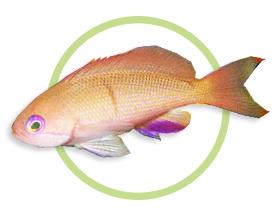 希伐海金鱼