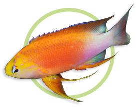 夏威夷海金鱼