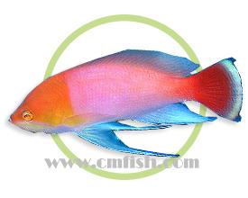 橙头海金鱼