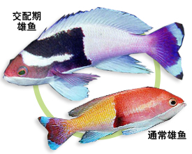花斑海金鱼
