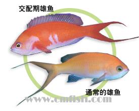丝尾海金鱼