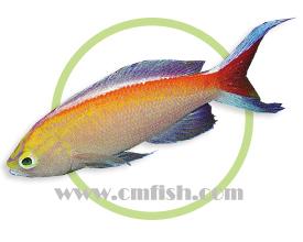白边海金鱼