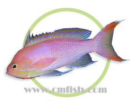尖鳍海金鱼