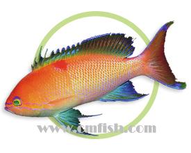 印尼海金鱼