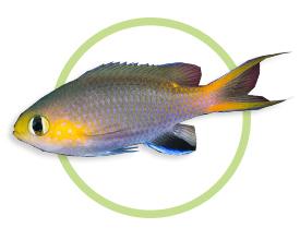 侏儒光鳃鱼