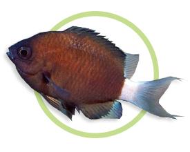 夏威夷光鳃鱼
