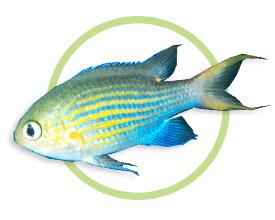 线纹光鳃鱼