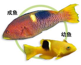 黄斑普提鱼